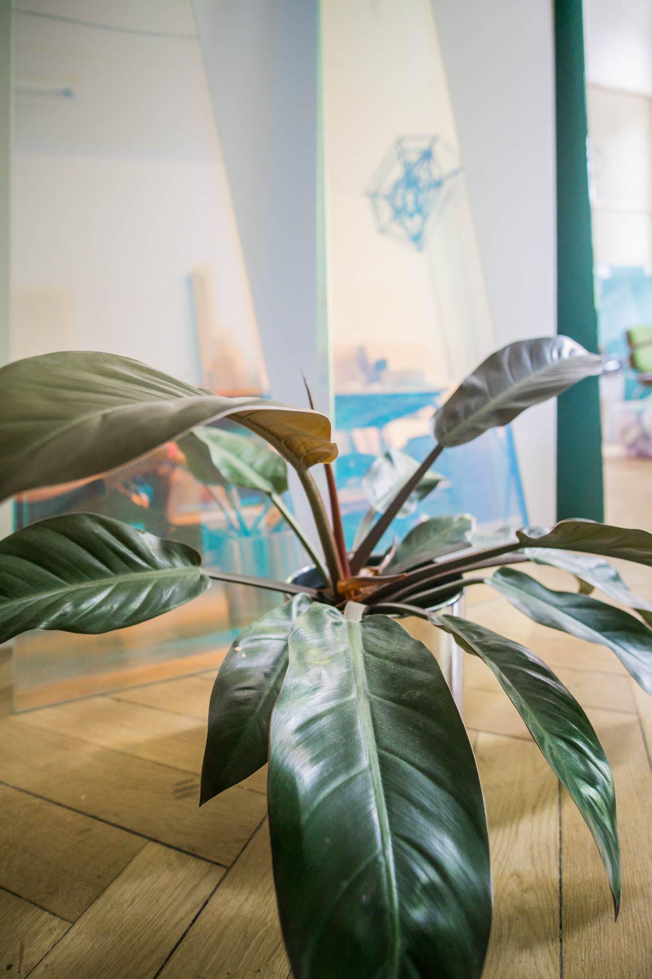 Philodendron Rojo Congo Plant