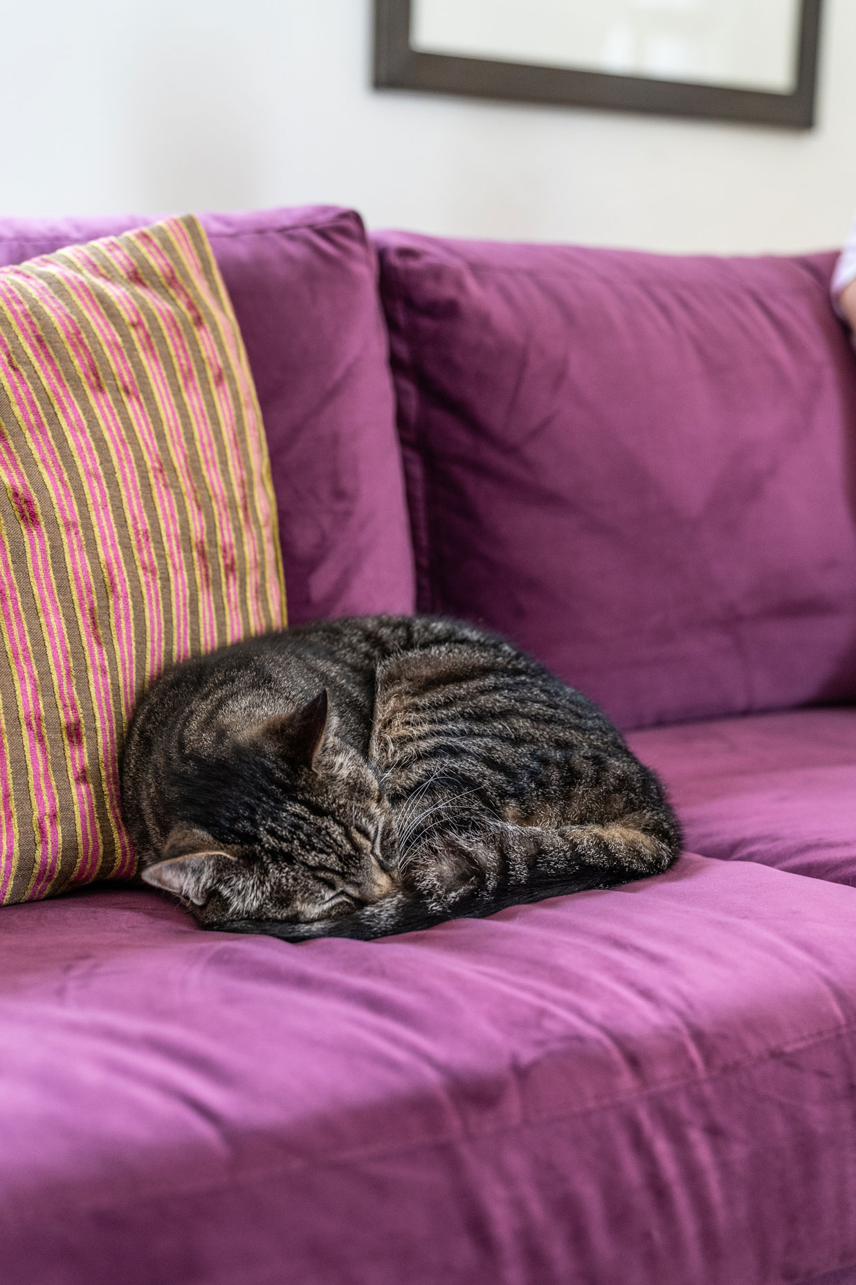 Cat on a purple sofa