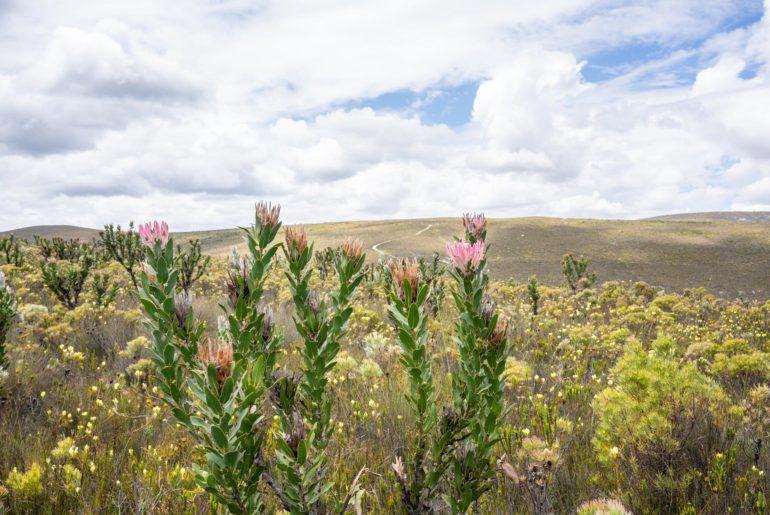 Fynbos Proteas