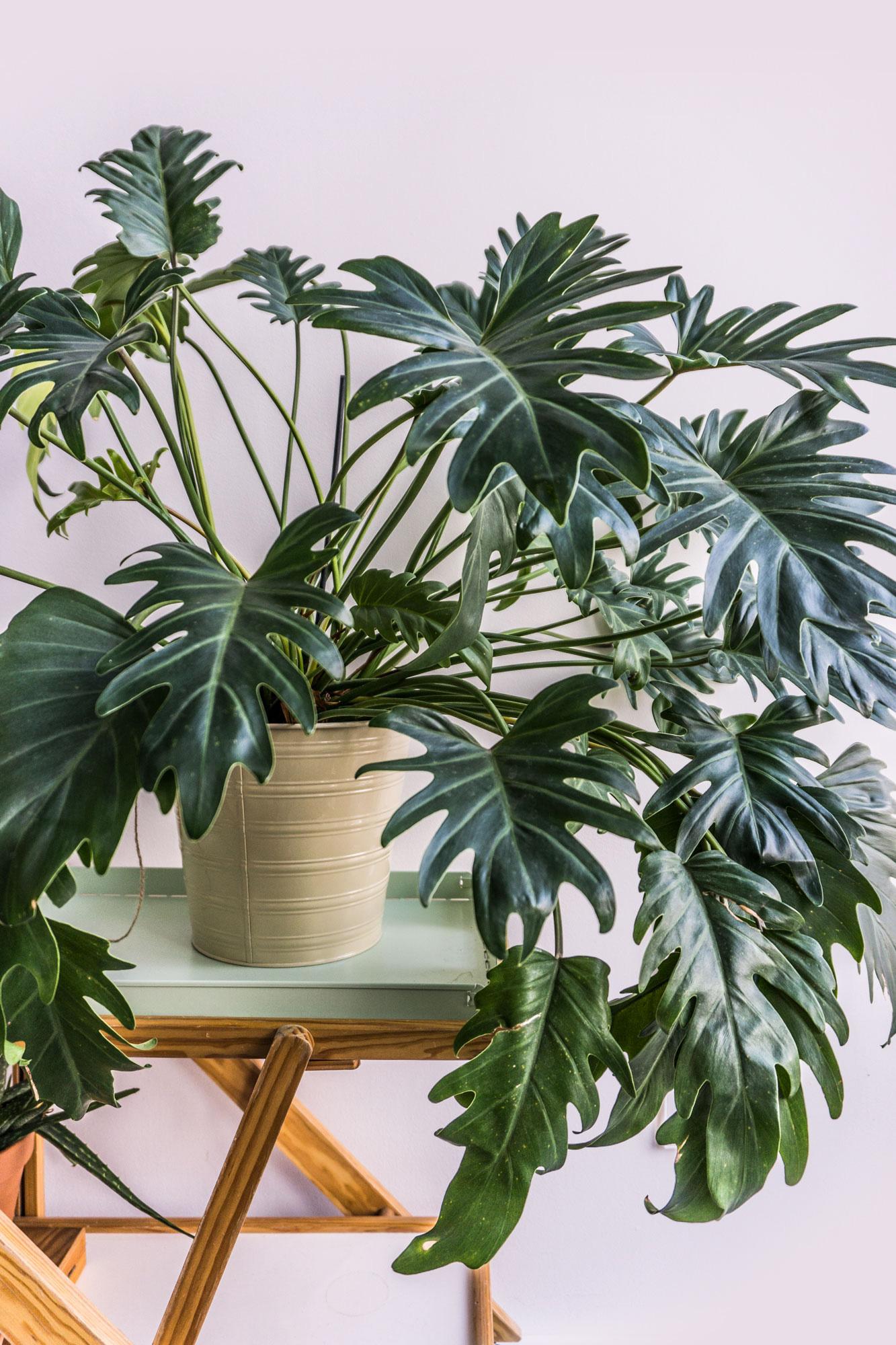 Philodendron /'Xanadu/' Large