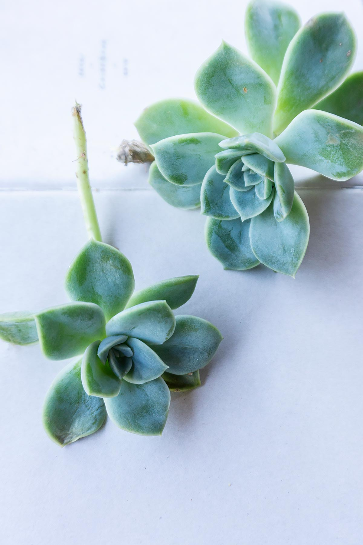 Echeveria succulent_Plant Photography by Soonafternoon Copyright