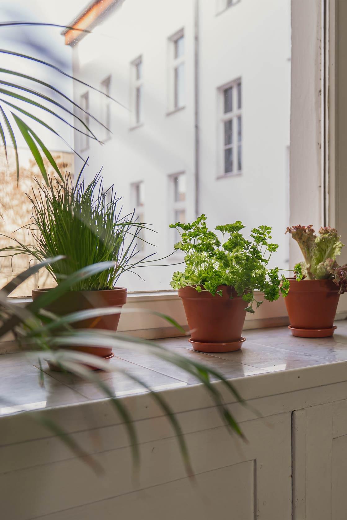 Herbs in the window sill