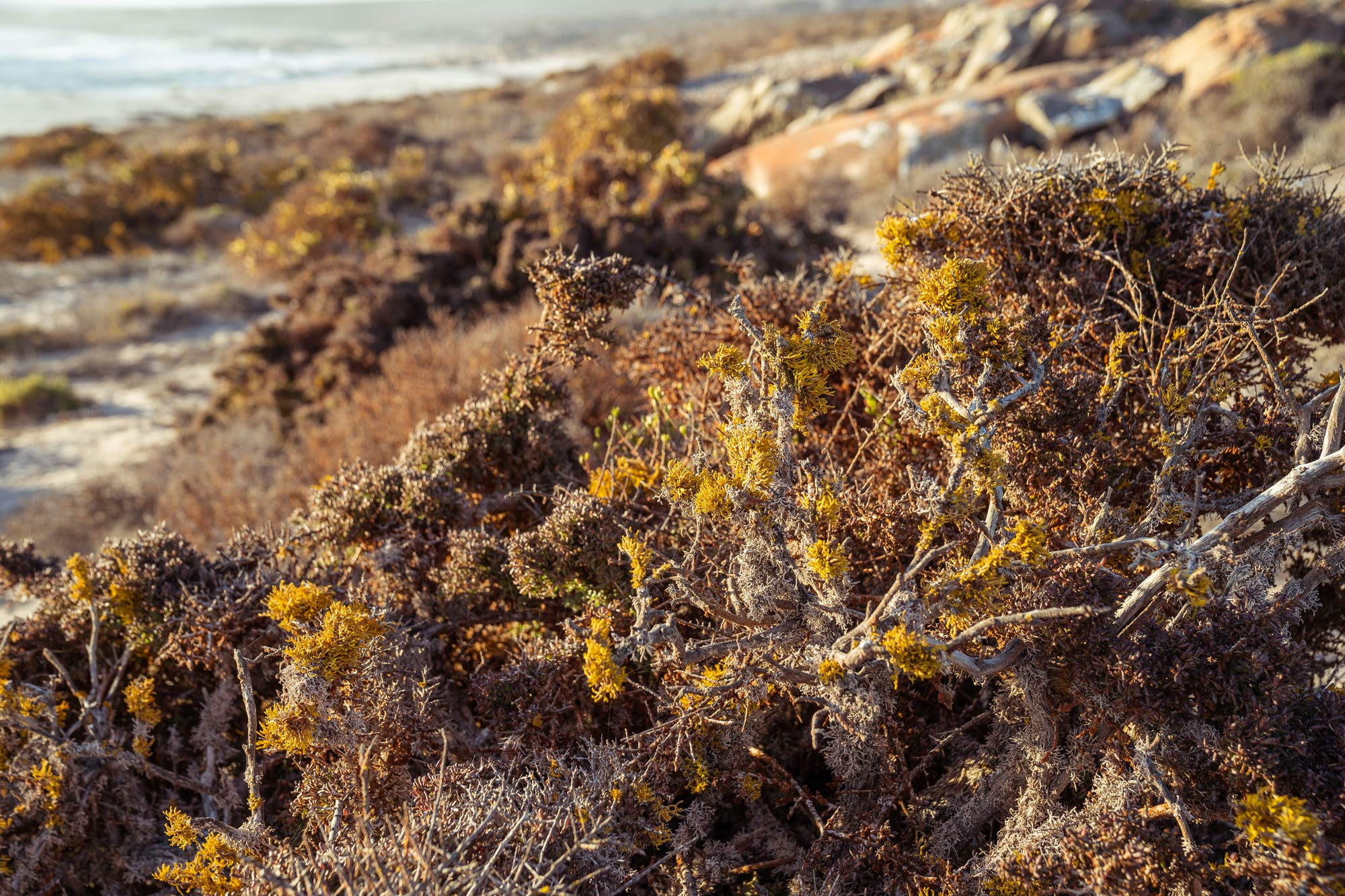 Strange flora of the the Namaqua National Park Image Copyright Soonafternoon