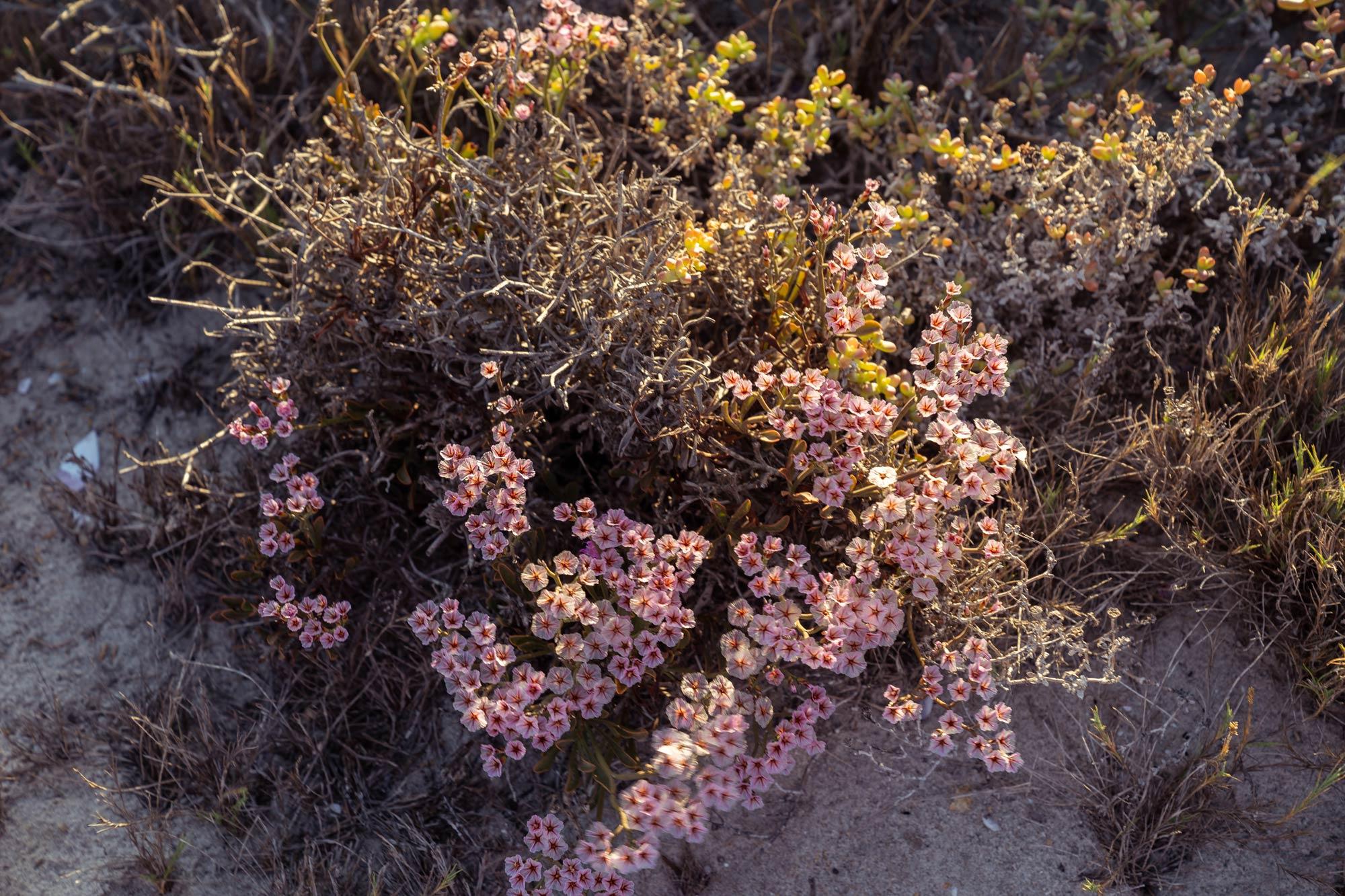 Succulent Karoo Image Copyright Soonafternoon