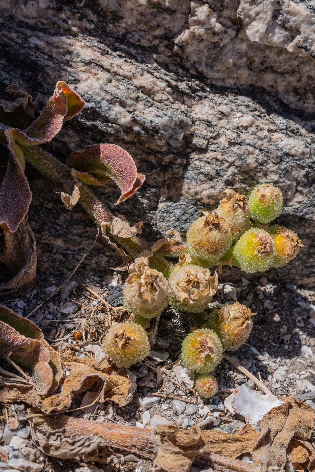 Weird and wonderful flora of the Succulent Karoo Image Copyright Soonafternoon