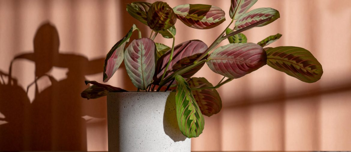 High end product photography with Maranta leuconeura