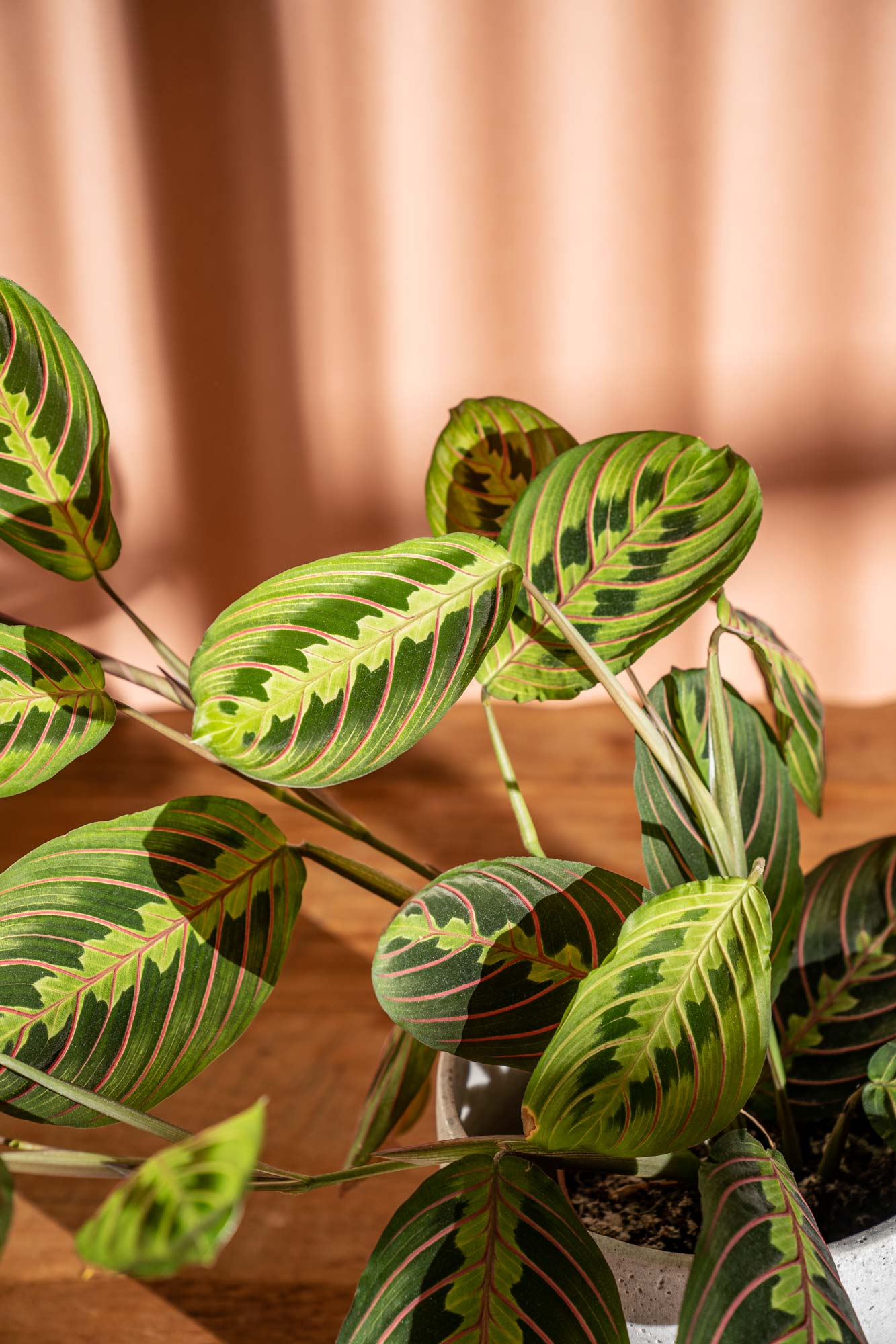 Plant Photography of Maranta leuconeura