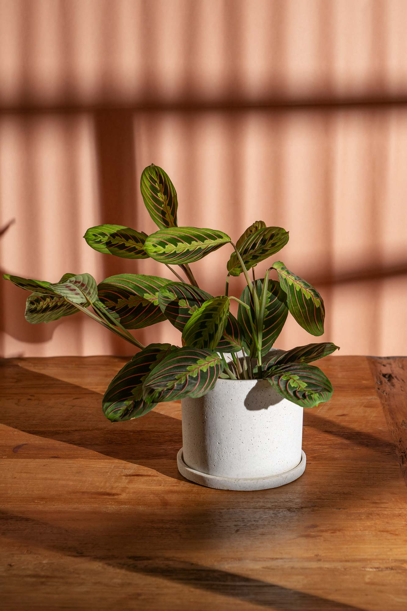 High quality photography of Maranta leuconeura