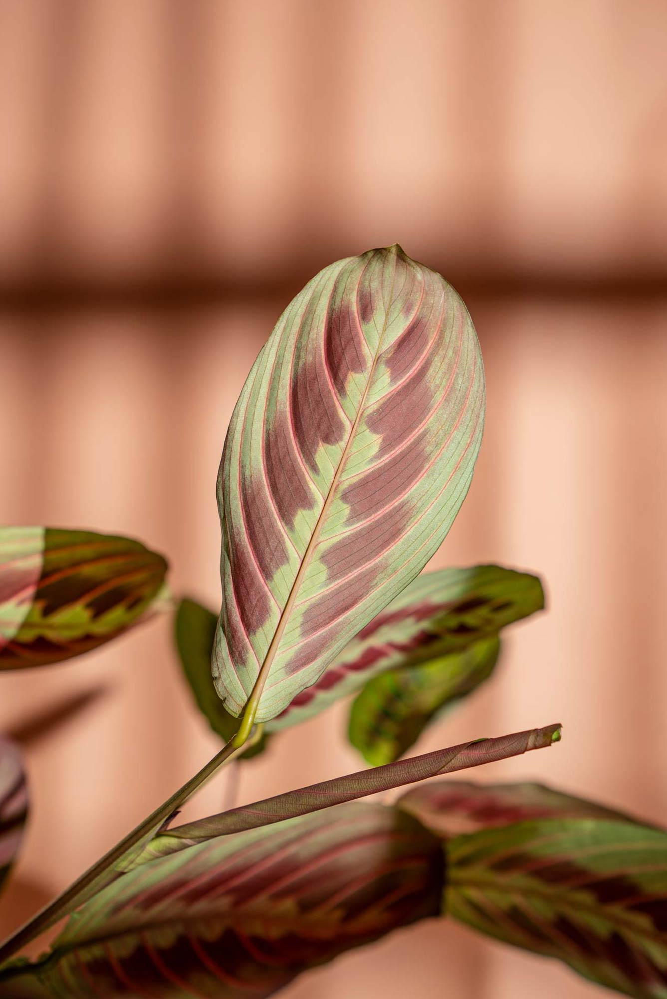 High quality plant photography of Maranta plant
