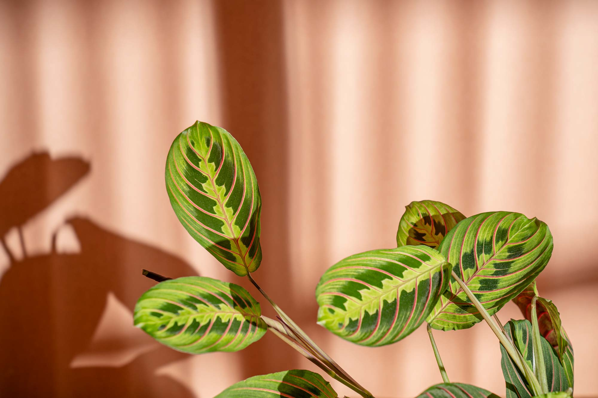Maranta leuconeura on a pink background